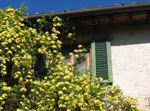 House - Yellow rose vine